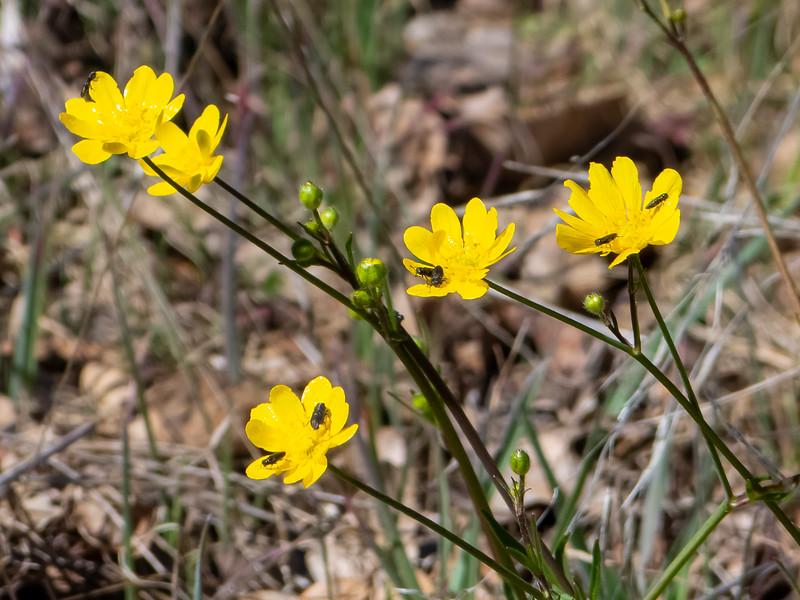 Ranunculus californicus.  California buttercup.