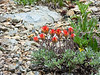 Castilleja applegatei ssp. pallida (Brewer's indian paintbrush).  The wavy margins on the cauline leaves, plus the location, identify the species and subspecies.   This one's red: colors are variable.  Note the grey-green leaves in front are not from the paintbrush.