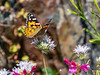 Monardella odoratissima ssp. pallida.  Painted lady (Vanessa cardui) on pennyroyal.