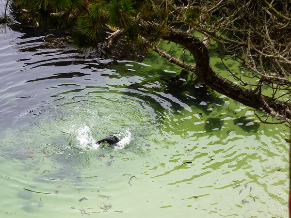 Harbor seal (or is this a sea lion?) playing in the shallows of Bluefish Cove.