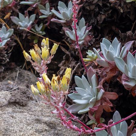 Dudleya farinosa. Sea Lettuce.   Pt. Lobos State Reserve, Carmel, CA, July 25, 2013.