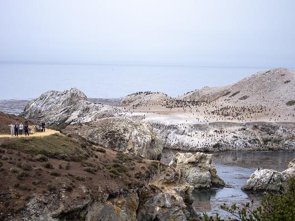 Bird Island.  Brandt's cormorants.