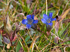 Gentiana calycosa (mountain gentian) as I hike up to Dale Lake.