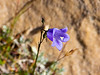 Campanula rotundifolia.  Bluebell bellflower.