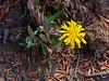 Agoseris sp.  Mountain dandelion.