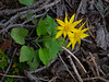 Arnica cordifolia. Heart-leaf arnica.
