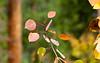 Populus tremuloides (quaking aspen).  Even a little red.