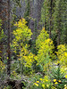 Populus tremuloides (quaking aspen).  I'm now at about 9,300' -- I've climbed 1,000' -- and I'm getting some aspen color.
