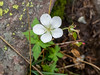 Geranium richardsonii.  This Richardson's geranium was a bit confused, being in bloom this late.