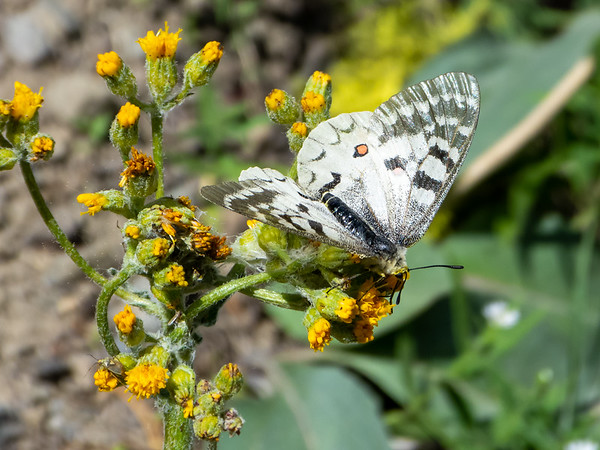 Scencio sp. is not exactly an interesting wildflower, but the butterfly -- a Clodius Parnassius, I think -- certainly is.