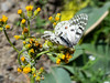 Scencio is not exactly an interesing wildflower, but the butterfly -- a Clodius Parnassius, I think -- certainly is.