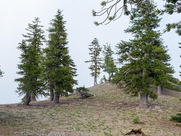 Pinus balfouriana ssp. balfouriana.