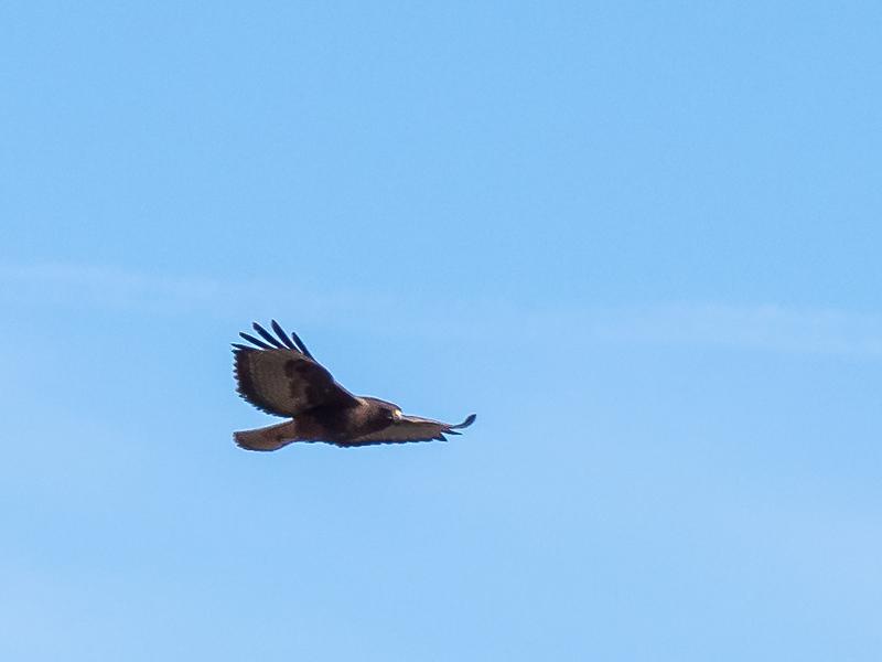 Nov. 23 - Briones.  Another attempt at in-flight bird photograph.  Turkey vulture.