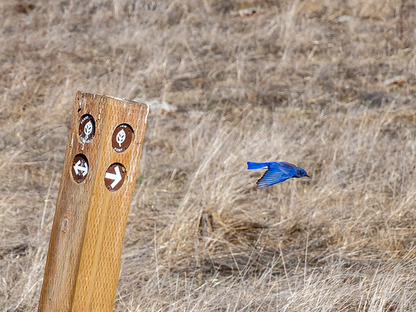 Nov. 10 - Carquinez.  I got him just as he flew off the trail marker.