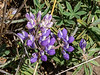 October 18.  Las Trampas.  Only a few flower out, but even in October this lupine is still managing to show.