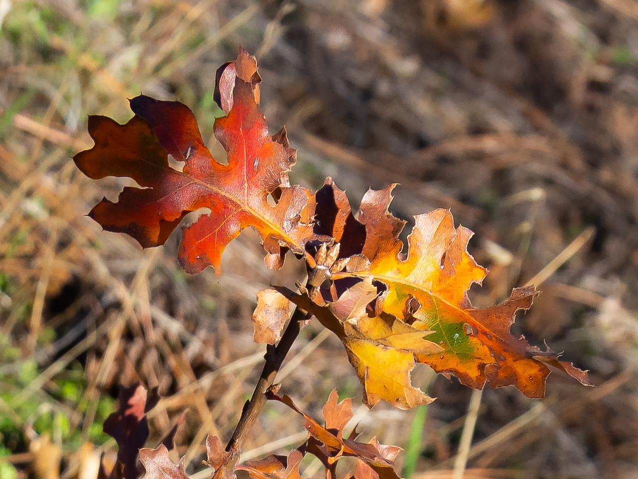 Quercus kelloggii.  Black oaks.  This one was showing more than the yellow/browns that seem so common this year.