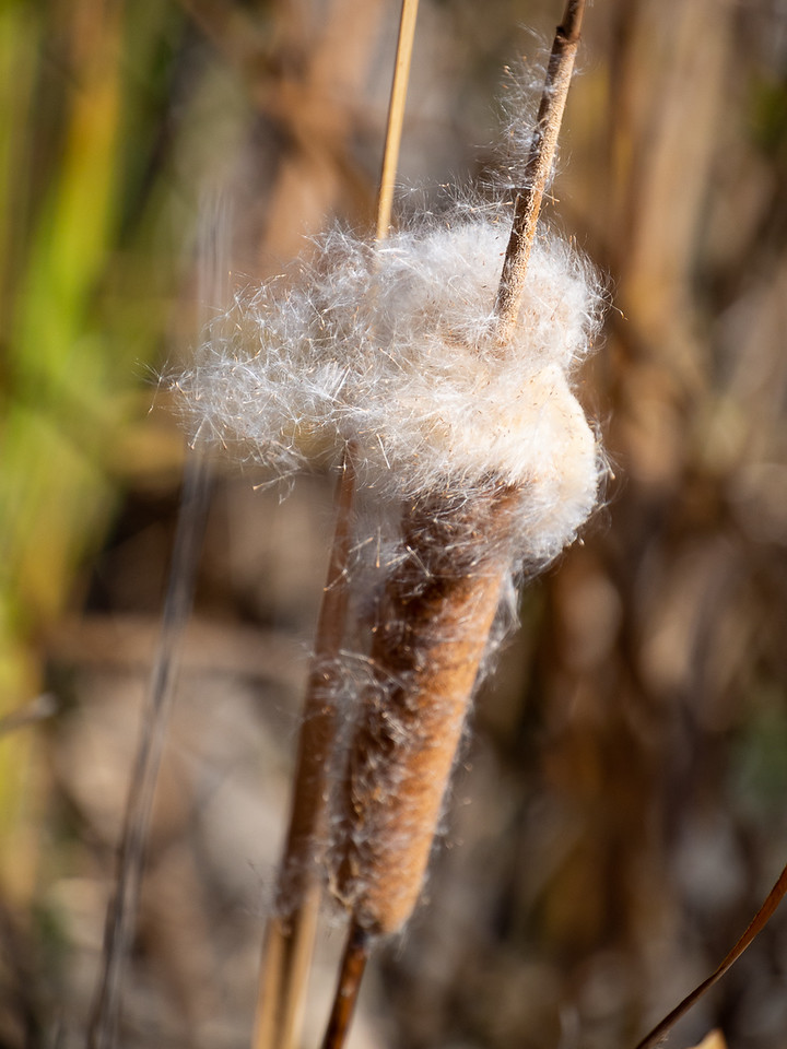 Typha latifolia (broadleaf cattail).  The cattails were just at the stage where the seeds were coming off.