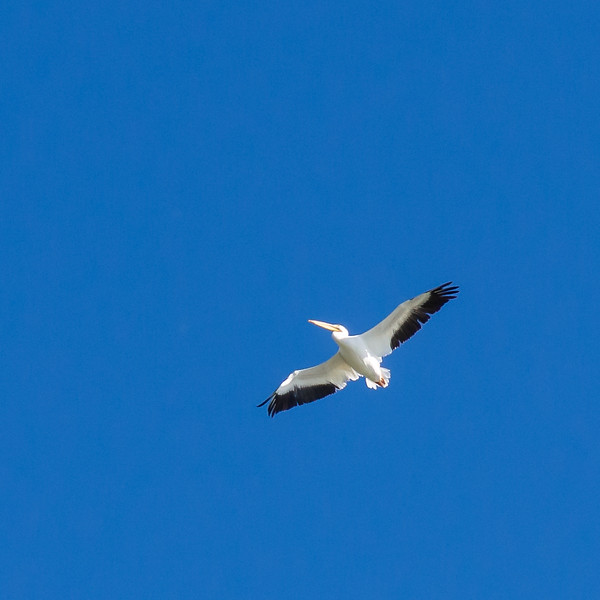 American white pelican.  This one's pretty high in the sky.
