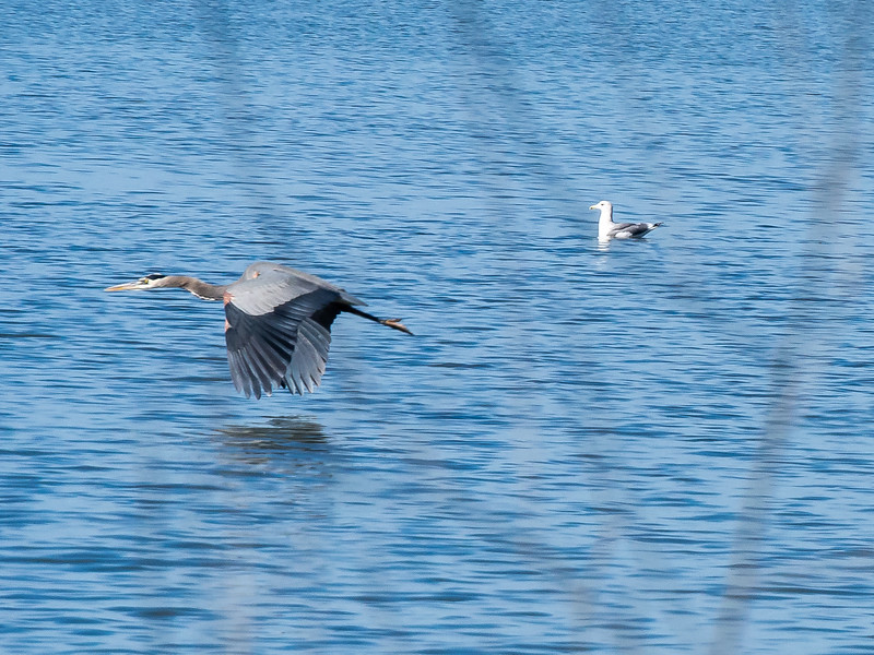 Great blue heron.  This bird was moving right along.  Even a shutter speed of 1/1600 second didn't quite freeze him.  (I'm shooting through a few dry reeds here.)