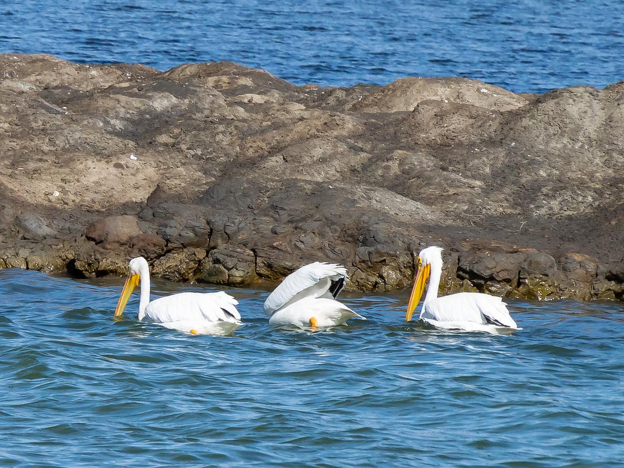 American white pelicans.