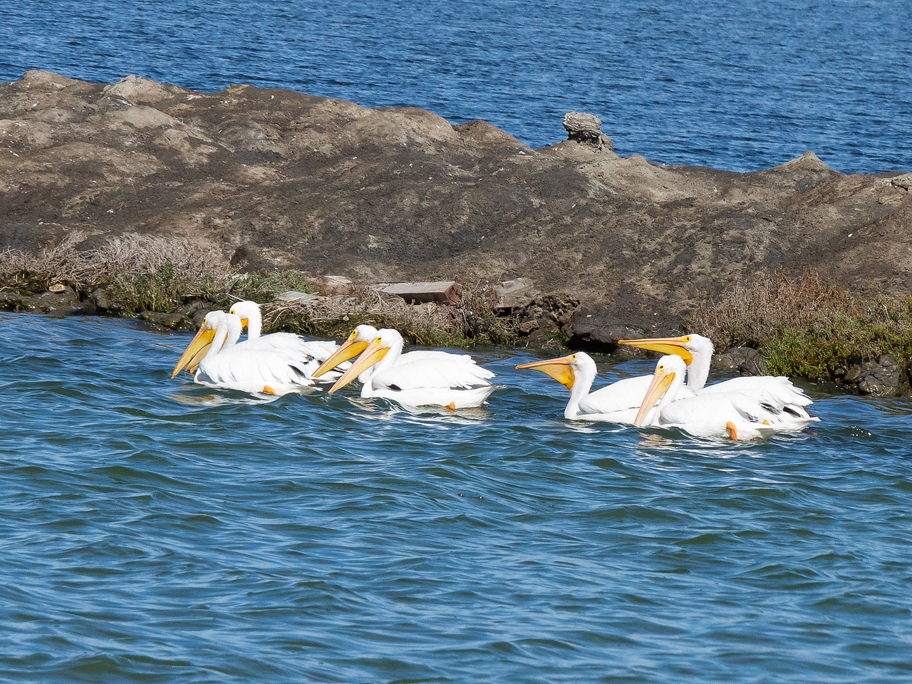 LOTS of American white pelicans.