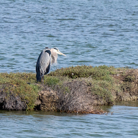 Another great blue heron, this one all tucked up.