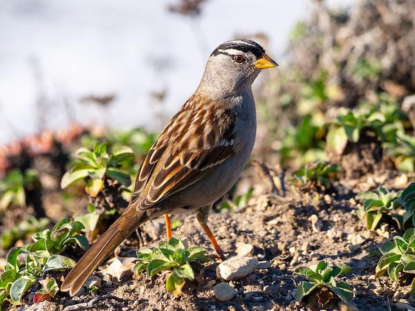 Sparrow at Pt. Reyes National Seashore, December 22, 2013.  (Near Arch Rock.)