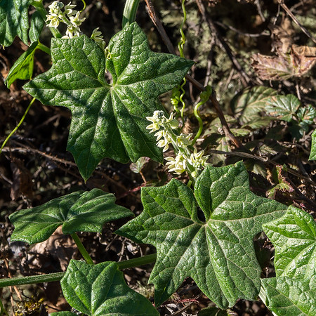 Marah fabacea. California manroot or M. oregana (coast man root).  Wild cucumber.  Montara Mountain.  January 4, 2014.