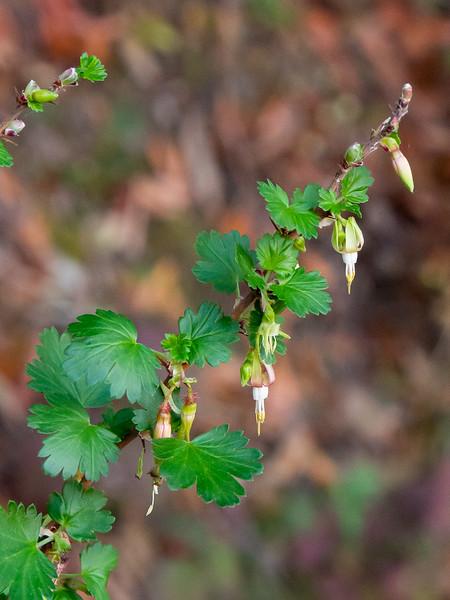 Ribes californicum.  Hillside gooseberry.  Today's one bloom. Briones Reservoir.  January 26, 2014.