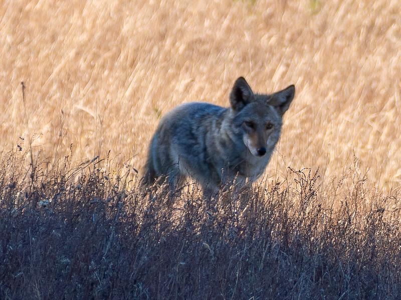 December 22, 2013.  Pt. Reyes National Seashore.  Tame (but still distant) coyote near Mt. Wittenburg.