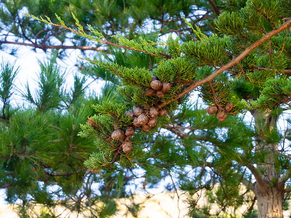 Hesperocyparis macrocarpa (Monterey cypress) up close.  Montara Mountain.   January 4, 2014.
