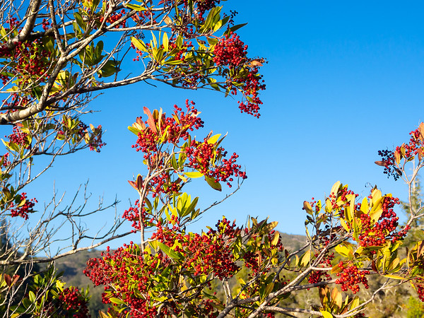 Heteromeles arbutifolia.  Toyon berries were still out.  Mt. Tamalpais, January 19, 2014.
