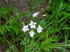 Lithophragma affine (San Francisco woodland star).  Hypanthium (base of flower) tapered.