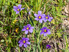 Sisyrinchium bellum (blue-eyed grass).  Not much of this in the valley, but lots in the grassy spots higher up.