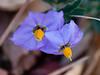 Solanum umbelliferum (blue witch).  Mt. Diablo.  February 1, 2014.