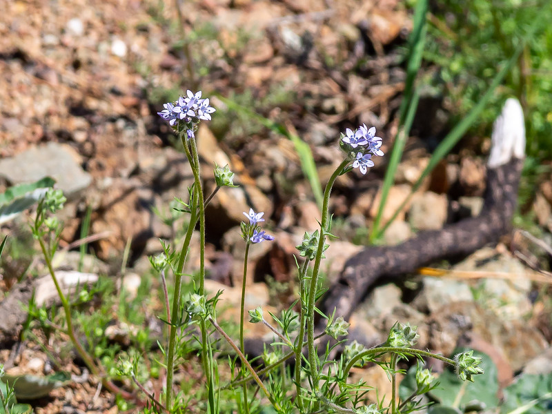 Gilia achilleifolia ssp. achilleifolia.  (California gilia).   These are on a just slightly richer hillside.