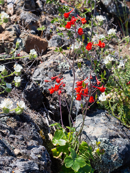 Delphinium nudicale (red delphinium) with some Phacelia behind.  I'd never seen red delphinium on the trail between Devil's Elbow and Prospector's Gap.  Today the're  all over.