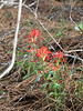 Castilleja affinis ssp. affinis (coast Indian paintbrush).