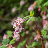 Ribes malvaceum (chapparal currant).  Another new rainy-season bloomer.