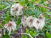 Clematis lasiantha (chapparal clematis) seed heads.