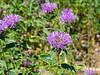Monardella villosa  (coyote mint).