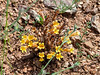 Aphyllon [formerly Orobanche] fasciculata  (clustered broom rape).  Not exactly a fire follower, but these were doing well in in the burnt chamise chapparal too.