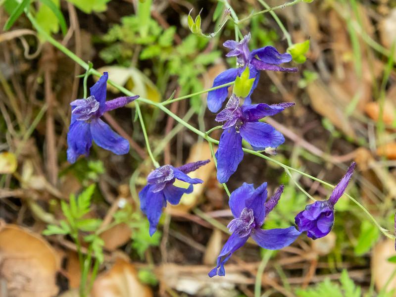 Delphinium sp., probably D. patens (spreading larkspur).