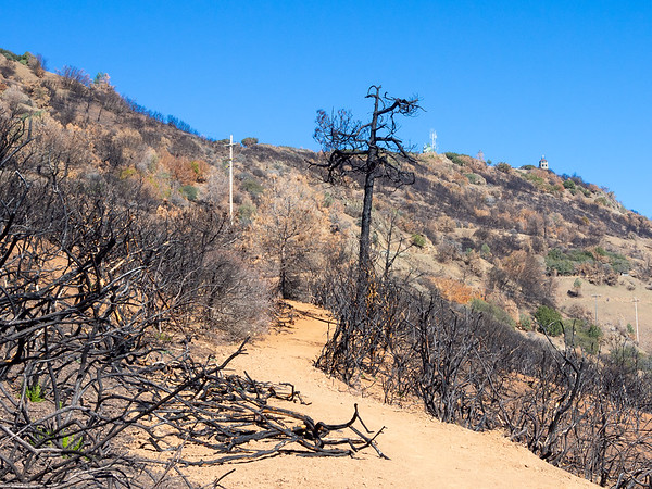 Feb. 1, 2014.  The most-burnt part of the trail looked like this: dead chamise and other chappral shrubs.  But look close.  New sprouts are already there.