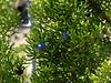 Juniperus californica (California juniper).  Close up.  Near Prospector's Gap, Mt. Diablo State Park, October 20, 2013.