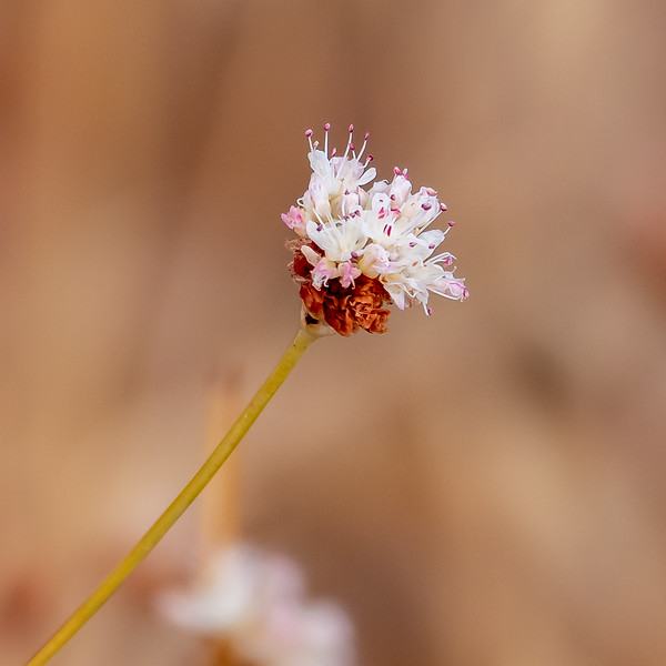 Eriogonum nudem.  Lot of these still, even if they are small and not particularly showy.