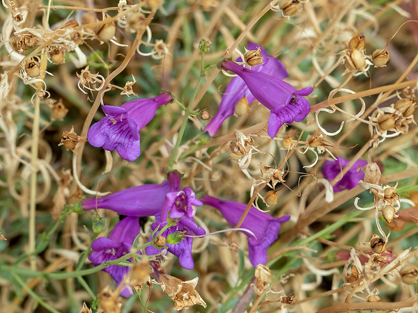 Penstemon heterophyllus (foothill penstemon).  Only one plant was in bloom.  These were mostly finished.