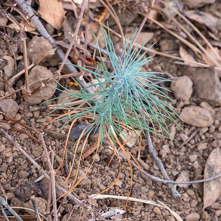 Pinus sabiniana.  A baby gray pine.
