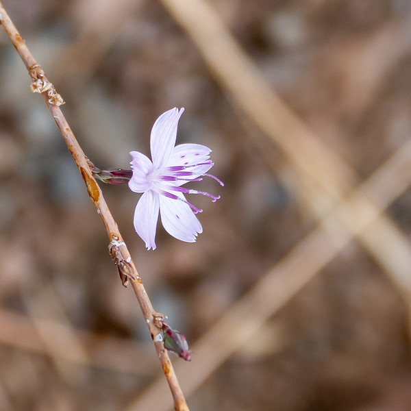 Stephanomeria virgata (wire lettuce).  Not 100% sure on the species.  S. exigua is possible too.  Lots of this  fall bloomer out on its naked stalks.