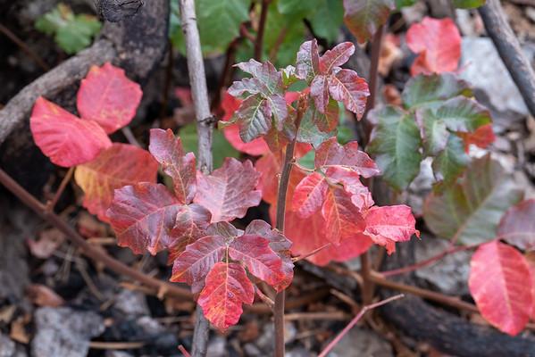 Toxicodendron diversilobum (poison oak) in its usual fall splendor.